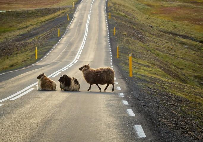 Фото трёх овец на дороге